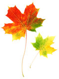 Two Sheets Maple Autumn Royalty Free Stock Photography