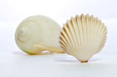 Two shell 02 Royalty Free Stock Image