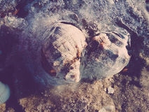 Two shell Rapana on the seafront Stock Photography