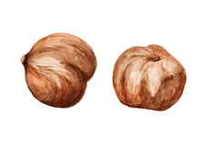Two shelled hazelnut Royalty Free Stock Photo