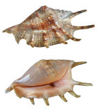 Two shells Stock Photography