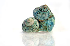 Two Shells. Royalty Free Stock Photography