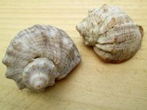 Two shells. Royalty Free Stock Images