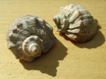 Two shells. Royalty Free Stock Image
