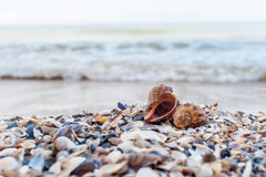 Two shells close-up Royalty Free Stock Photos