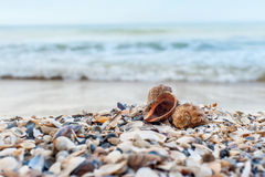 Two shells close-up Royalty Free Stock Image