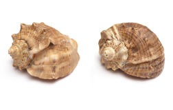 Two shells Royalty Free Stock Photography