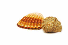 Two shells Royalty Free Stock Image