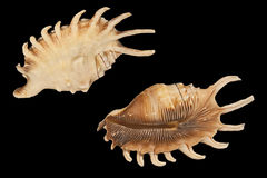 Two shells of Lambis millipedes Stock Image