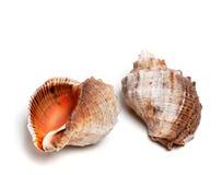 Two shells from rapana venosa Royalty Free Stock Photo