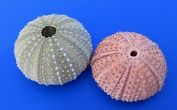 Two shells of sea urchin. On blue background Stock Photography