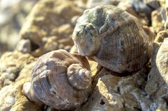 Two shells of venous rapana on the seashore among the sand and stones Stock Image