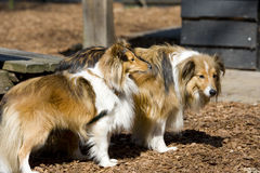 Two Sheltie dogs Stock Photo