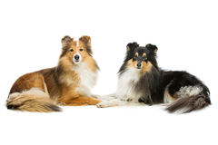 Two sheltie dogs Royalty Free Stock Photos