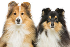 Two sheltie dogs Royalty Free Stock Photography