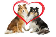 Two sheltie dogs Stock Photos