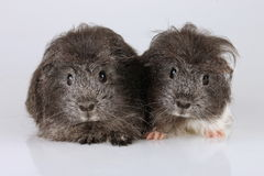 Two sheltie guinea pig babies Stock Photography
