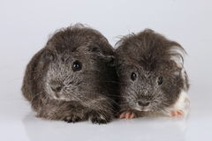Two sheltie guinea pig babies stock images