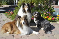 Two Sheltie's and a Shih Tzu Royalty Free Stock Photography