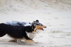 Two Shelties Royalty Free Stock Image