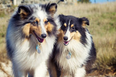 Two Shelties Stock Image