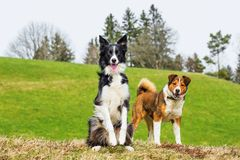 Two shepherd dog on meadow Royalty Free Stock Photography