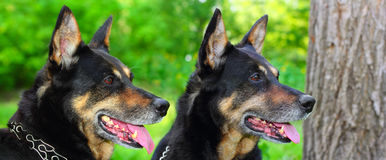 Two shepherd dogs Royalty Free Stock Images