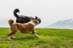 Two shepherd dogs play on mountain meadow. Two shepherd dogs play on spring mountain meadow Stock Photos