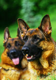 Two shepherd dogs portraits Royalty Free Stock Image