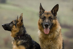 Two shepherd dogs taking breather Royalty Free Stock Photos