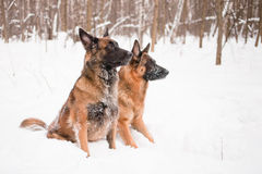 Two shepherds. A belgian and a german shepherds sitting in snow Stock Photos