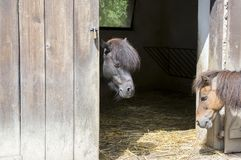 Two shetland ponies talking in horse stablle Royalty Free Stock Photo