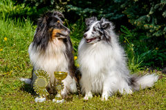 Two Shetland Sheepdogs. Two Shetland Sheepdogs are in the city park Stock Images