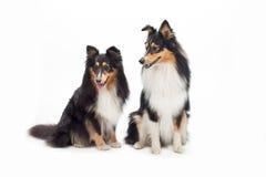Two Shetland Sheepdogs sitting Royalty Free Stock Image