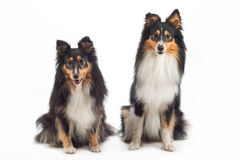 Two Shetland Sheepdogs sitting Royalty Free Stock Images