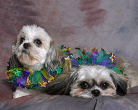 Two Shi Tzu Dogs. Portrait Of Two Shi Tzu Dogs Stock Images