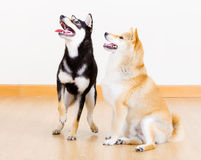 Two shiba dog Royalty Free Stock Images