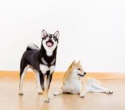 Two shiba inu dog Stock Image