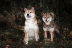 Two shiba-inu dog in park Royalty Free Stock Photo