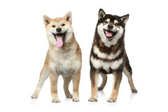 Two Shiba inu dogs. (light and dark brown) on a white background Stock Images