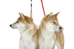 Two shiba Inu dogs on snow background look in different sides Stock Photo