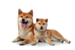 Two shiba inu dogs on white Royalty Free Stock Images