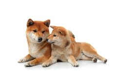 Two shiba inu dogs on white. Two beauty shiba inu dogs isolated on white background Royalty Free Stock Images