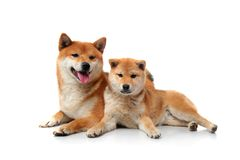 Two shiba inu dogs on white Royalty Free Stock Photos