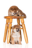 two shiba inu puppies with a chair Royalty Free Stock Photography
