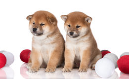 Two shiba inu puppies sitting together Stock Photos