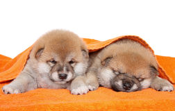 Two Shiba Inu puppies under blanket Stock Images