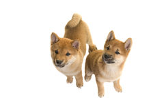 Two shiba Inu puppy dogs both sitting and looking up seen from above Royalty Free Stock Photography