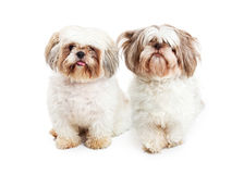 Two Shih Tzu Breed Dogs Sitting Together Stock Image