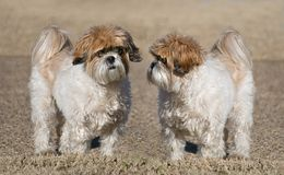 Two Shih-Tzu Dogs. Portrait of two cute Shih-Tzu dogs with puppy-cut grooming Stock Photos